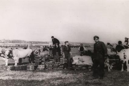 Партизани с воловима скупљају помоћ бачену из RAF-ових авиона (Империјални ратни музеј, Лондон, фото-архива, 9507-15)